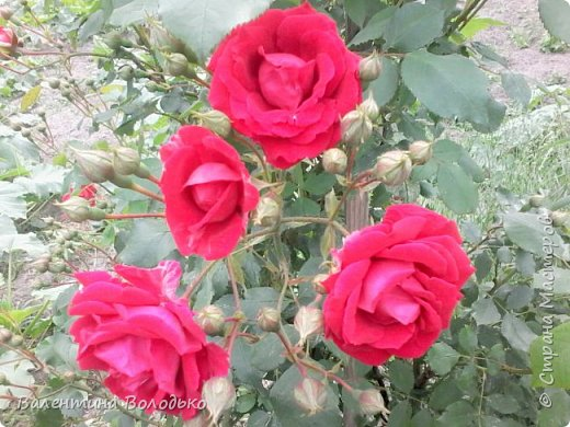 Здравствуйте жители Страны Мастеров!!!Сегодня я хочу показать вам свои цветы. фото 9