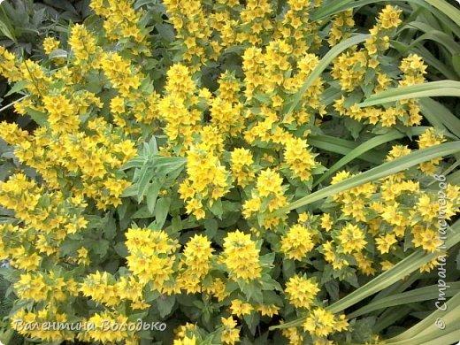 Здравствуйте жители Страны Мастеров!!!Сегодня я хочу показать вам свои цветы. фото 10