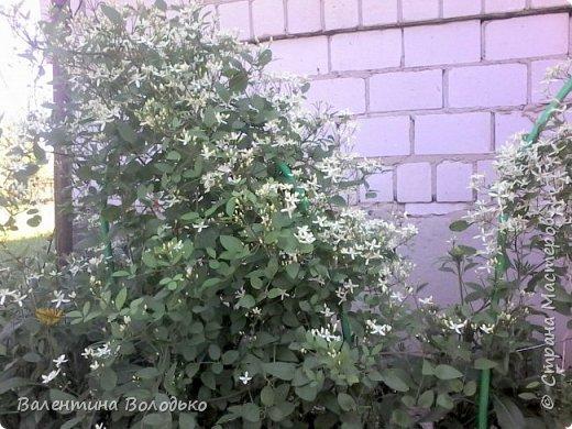 Здравствуйте жители Страны Мастеров!!!Сегодня я хочу показать вам свои цветы. фото 11