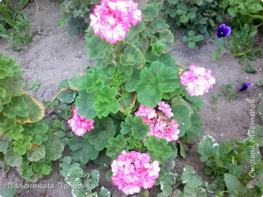 Здравствуйте жители Страны Мастеров!!!Сегодня я хочу показать вам свои цветы. фото 12