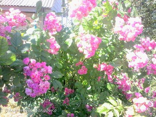 Здравствуйте жители Страны Мастеров!!!Сегодня я хочу показать вам свои цветы. фото 13