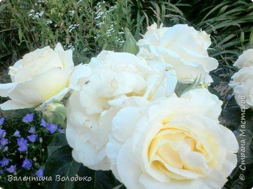 Здравствуйте жители Страны Мастеров!!!Сегодня я хочу показать вам свои цветы. фото 15