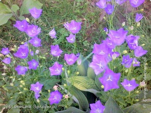 Здравствуйте жители Страны Мастеров!!!Сегодня я хочу показать вам свои цветы. фото 16