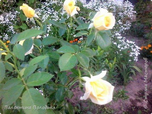 Здравствуйте жители Страны Мастеров!!!Сегодня я хочу показать вам свои цветы. фото 19