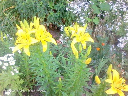 Здравствуйте жители Страны Мастеров!!!Сегодня я хочу показать вам свои цветы. фото 20