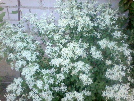 Здравствуйте жители Страны Мастеров!!!Сегодня я хочу показать вам свои цветы. фото 22