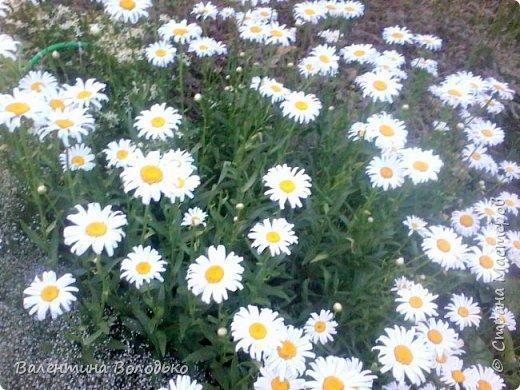 Здравствуйте жители Страны Мастеров!!!Сегодня я хочу показать вам свои цветы. фото 25