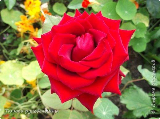 Здравствуйте все жители и гости Страны! Лето пора цветения и ярких красок.  Хочу немного показать своих цветочков. Эти цветы растут у меня на балконе. Все живые, кроме ромашек (они у меня уже отцвели). Но я слепила немного ромашек из холодного фарфора. фото 8
