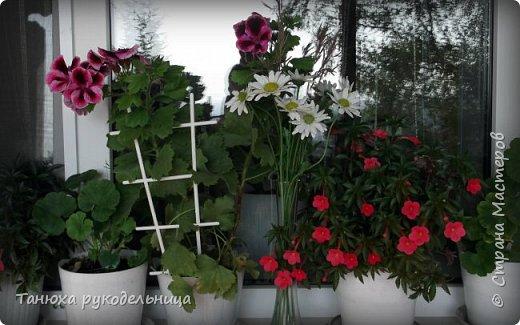 Здравствуйте все жители и гости Страны! Лето пора цветения и ярких красок.  Хочу немного показать своих цветочков. Эти цветы растут у меня на балконе. Все живые, кроме ромашек (они у меня уже отцвели). Но я слепила немного ромашек из холодного фарфора. фото 1