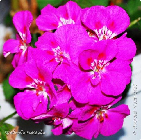 ВСЕМ ДОБРЫЙ ВЕЧЕР , продолжаю хвастаться своими цветами , они этим летом меня радуют своим цветением , любуюсь и балую их удобрением , теплым душем . Расцвел  АМАРИЛЛИС ИЛИ ГИППЕАСТРУМ?  смотрела в инете , так и не могла понять ? огромные красные колокольчики фото 4