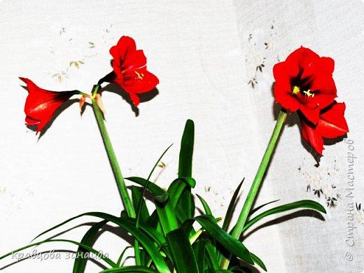 ВСЕМ ДОБРЫЙ ВЕЧЕР , продолжаю хвастаться своими цветами , они этим летом меня радуют своим цветением , любуюсь и балую их удобрением , теплым душем . Расцвел  АМАРИЛЛИС ИЛИ ГИППЕАСТРУМ?  смотрела в инете , так и не могла понять ? огромные красные колокольчики фото 2