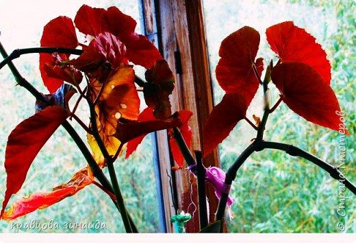 ВСЕМ ДОБРЫЙ ВЕЧЕР , продолжаю хвастаться своими цветами , они этим летом меня радуют своим цветением , любуюсь и балую их удобрением , теплым душем . Расцвел  АМАРИЛЛИС ИЛИ ГИППЕАСТРУМ?  смотрела в инете , так и не могла понять ? огромные красные колокольчики фото 5