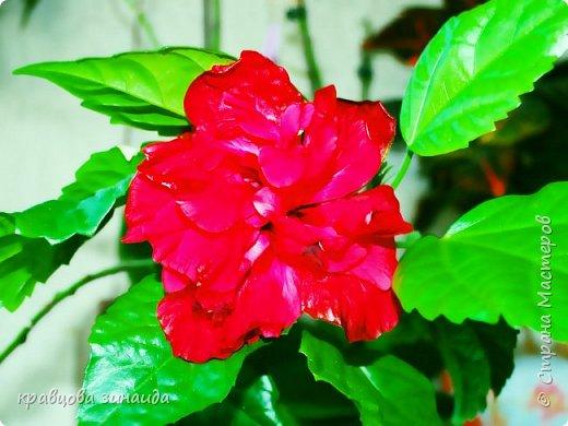 ВСЕМ ДОБРЫЙ ВЕЧЕР , продолжаю хвастаться своими цветами , они этим летом меня радуют своим цветением , любуюсь и балую их удобрением , теплым душем . Расцвел  АМАРИЛЛИС ИЛИ ГИППЕАСТРУМ?  смотрела в инете , так и не могла понять ? огромные красные колокольчики фото 3