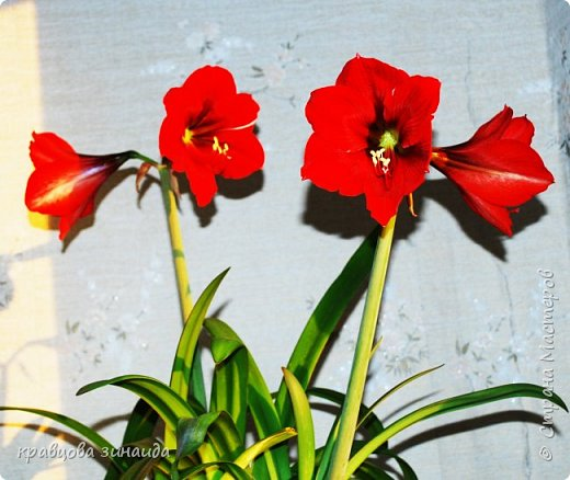 ВСЕМ ДОБРЫЙ ВЕЧЕР , продолжаю хвастаться своими цветами , они этим летом меня радуют своим цветением , любуюсь и балую их удобрением , теплым душем . Расцвел  АМАРИЛЛИС ИЛИ ГИППЕАСТРУМ?  смотрела в инете , так и не могла понять ? огромные красные колокольчики фото 15