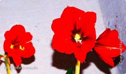 ВСЕМ ДОБРЫЙ ВЕЧЕР , продолжаю хвастаться своими цветами , они этим летом меня радуют своим цветением , любуюсь и балую их удобрением , теплым душем . Расцвел  АМАРИЛЛИС ИЛИ ГИППЕАСТРУМ?  смотрела в инете , так и не могла понять ? огромные красные колокольчики фото 1