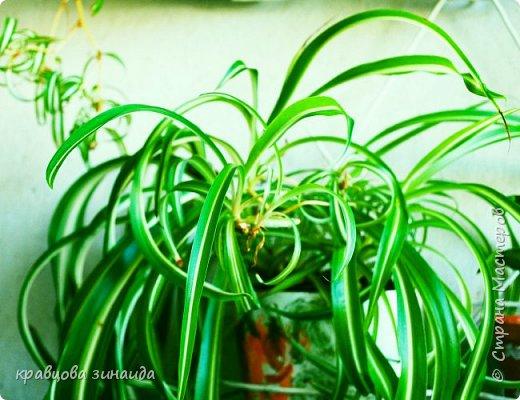 ВСЕМ ДОБРЫЙ ВЕЧЕР , продолжаю хвастаться своими цветами , они этим летом меня радуют своим цветением , любуюсь и балую их удобрением , теплым душем . Расцвел  АМАРИЛЛИС ИЛИ ГИППЕАСТРУМ?  смотрела в инете , так и не могла понять ? огромные красные колокольчики фото 8