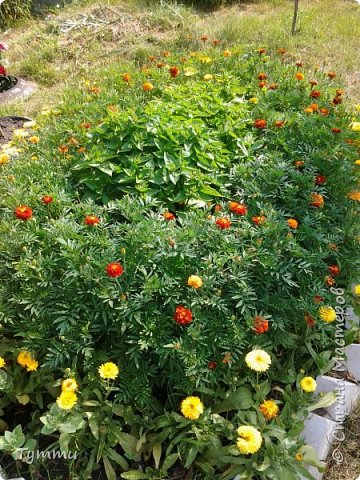 ура, лилии цветут , моя мамочка очень любит эти цветы , поэтому у нас их очень много... фото 19