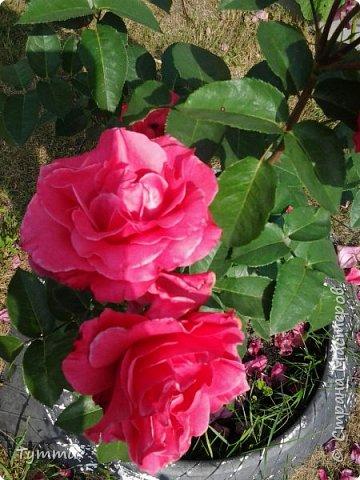 ура, лилии цветут , моя мамочка очень любит эти цветы , поэтому у нас их очень много... фото 6