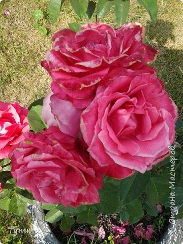 ура, лилии цветут , моя мамочка очень любит эти цветы , поэтому у нас их очень много... фото 7