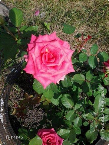 ура, лилии цветут , моя мамочка очень любит эти цветы , поэтому у нас их очень много... фото 8