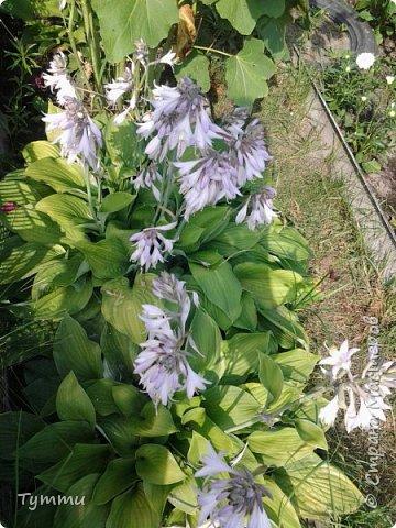 ура, лилии цветут , моя мамочка очень любит эти цветы , поэтому у нас их очень много... фото 10