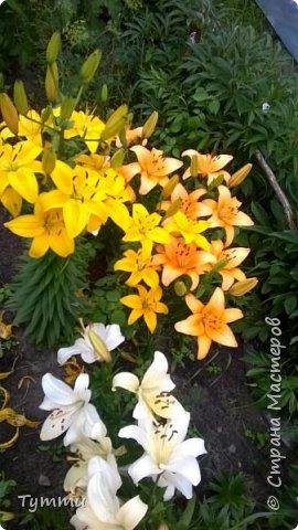 ура, лилии цветут , моя мамочка очень любит эти цветы , поэтому у нас их очень много... фото 4