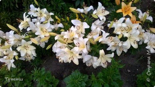 ура, лилии цветут , моя мамочка очень любит эти цветы , поэтому у нас их очень много... фото 1