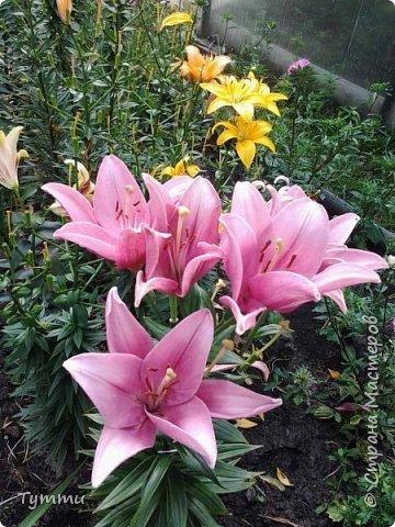ура, лилии цветут , моя мамочка очень любит эти цветы , поэтому у нас их очень много... фото 2