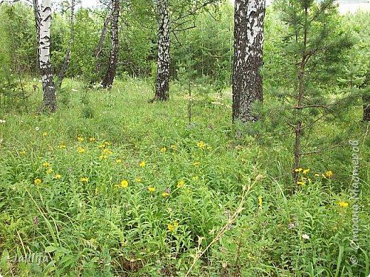 Здравствуйте все, кто ко мне заглянул. Наверное, некоторые уже видели мой лес с берёзами и соснами. Но наш лес имеет ещё нижний этаж. Не менее красивый. Хочу вам это сегодня показать. Сразу оговорюсь, не все названия растений знаю. Буду рада вашим подсказкам. фото 36