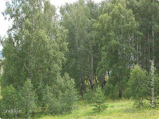 Здравствуйте все, кто ко мне заглянул. Наверное, некоторые уже видели мой лес с берёзами и соснами. Но наш лес имеет ещё нижний этаж. Не менее красивый. Хочу вам это сегодня показать. Сразу оговорюсь, не все названия растений знаю. Буду рада вашим подсказкам. фото 62