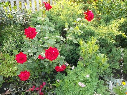Очень люблю цветы. Не мыслю свою жизнь без них. Приглашаю любителей цветоводства полюбоваться на моих красавцев.В фавортах- лилия. Вот некоторые из них. Лилии разного срока цветения, поэтому долго радуют своим цветением и ароматом. фото 21