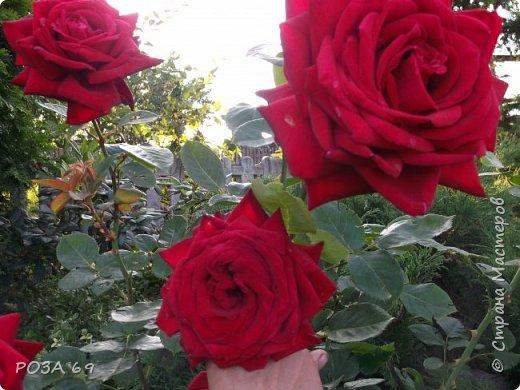 Очень люблю цветы. Не мыслю свою жизнь без них. Приглашаю любителей цветоводства полюбоваться на моих красавцев.В фавортах- лилия. Вот некоторые из них. Лилии разного срока цветения, поэтому долго радуют своим цветением и ароматом. фото 22