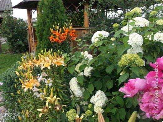 Очень люблю цветы. Не мыслю свою жизнь без них. Приглашаю любителей цветоводства полюбоваться на моих красавцев.В фавортах- лилия. Вот некоторые из них. Лилии разного срока цветения, поэтому долго радуют своим цветением и ароматом. фото 7
