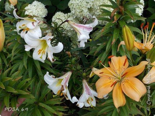 Очень люблю цветы. Не мыслю свою жизнь без них. Приглашаю любителей цветоводства полюбоваться на моих красавцев.В фавортах- лилия. Вот некоторые из них. Лилии разного срока цветения, поэтому долго радуют своим цветением и ароматом. фото 2