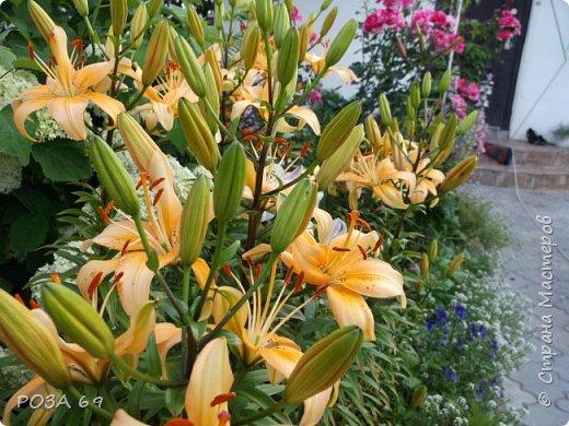 Очень люблю цветы. Не мыслю свою жизнь без них. Приглашаю любителей цветоводства полюбоваться на моих красавцев.В фавортах- лилия. Вот некоторые из них. Лилии разного срока цветения, поэтому долго радуют своим цветением и ароматом. фото 4