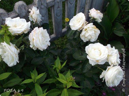 Очень люблю цветы. Не мыслю свою жизнь без них. Приглашаю любителей цветоводства полюбоваться на моих красавцев.В фавортах- лилия. Вот некоторые из них. Лилии разного срока цветения, поэтому долго радуют своим цветением и ароматом. фото 23