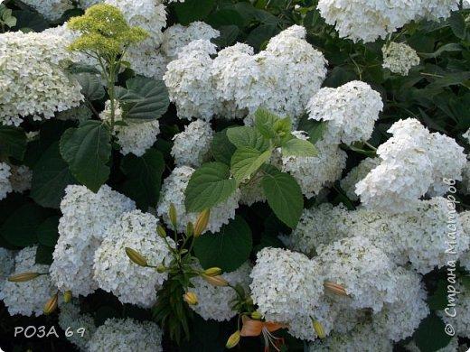 Очень люблю цветы. Не мыслю свою жизнь без них. Приглашаю любителей цветоводства полюбоваться на моих красавцев.В фавортах- лилия. Вот некоторые из них. Лилии разного срока цветения, поэтому долго радуют своим цветением и ароматом. фото 28