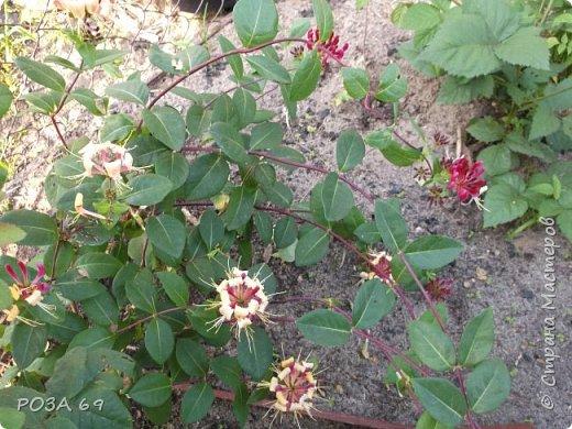 Очень люблю цветы. Не мыслю свою жизнь без них. Приглашаю любителей цветоводства полюбоваться на моих красавцев.В фавортах- лилия. Вот некоторые из них. Лилии разного срока цветения, поэтому долго радуют своим цветением и ароматом. фото 11