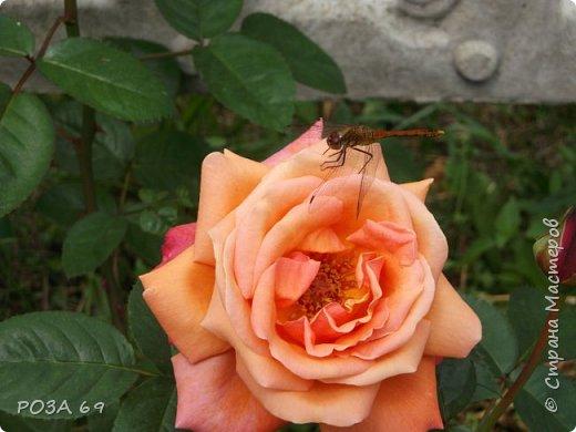 Очень люблю цветы. Не мыслю свою жизнь без них. Приглашаю любителей цветоводства полюбоваться на моих красавцев.В фавортах- лилия. Вот некоторые из них. Лилии разного срока цветения, поэтому долго радуют своим цветением и ароматом. фото 24
