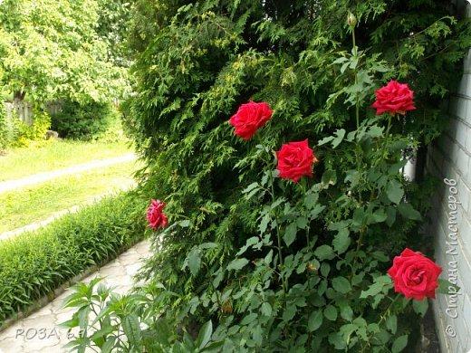 Очень люблю цветы. Не мыслю свою жизнь без них. Приглашаю любителей цветоводства полюбоваться на моих красавцев.В фавортах- лилия. Вот некоторые из них. Лилии разного срока цветения, поэтому долго радуют своим цветением и ароматом. фото 25