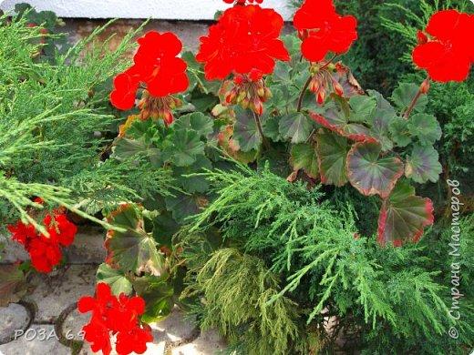 Очень люблю цветы. Не мыслю свою жизнь без них. Приглашаю любителей цветоводства полюбоваться на моих красавцев.В фавортах- лилия. Вот некоторые из них. Лилии разного срока цветения, поэтому долго радуют своим цветением и ароматом. фото 18