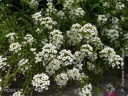 Очень люблю цветы. Не мыслю свою жизнь без них. Приглашаю любителей цветоводства полюбоваться на моих красавцев.В фавортах- лилия. Вот некоторые из них. Лилии разного срока цветения, поэтому долго радуют своим цветением и ароматом. фото 16