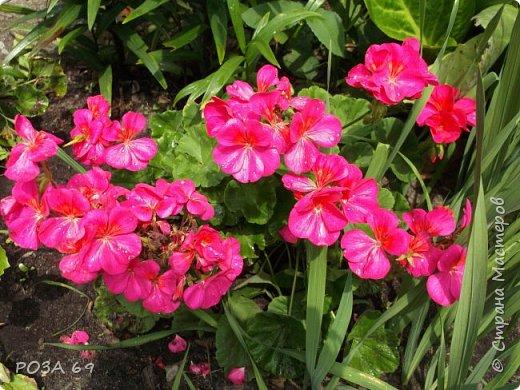 Очень люблю цветы. Не мыслю свою жизнь без них. Приглашаю любителей цветоводства полюбоваться на моих красавцев.В фавортах- лилия. Вот некоторые из них. Лилии разного срока цветения, поэтому долго радуют своим цветением и ароматом. фото 19