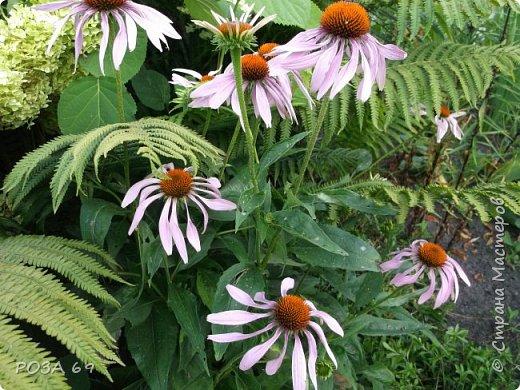 Очень люблю цветы. Не мыслю свою жизнь без них. Приглашаю любителей цветоводства полюбоваться на моих красавцев.В фавортах- лилия. Вот некоторые из них. Лилии разного срока цветения, поэтому долго радуют своим цветением и ароматом. фото 13