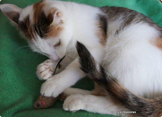 Так сложилось - в наш дом попали в разное время кошки одной масти - трёхцветные. фото 2