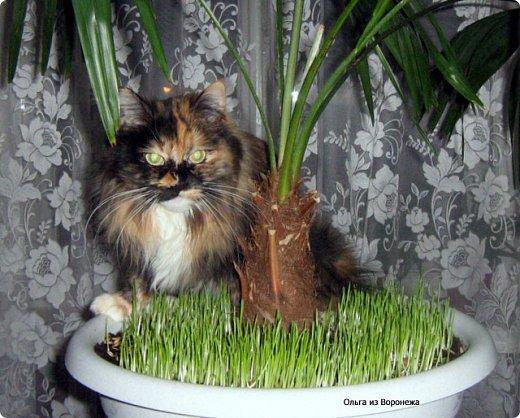 Так сложилось - в наш дом попали в разное время кошки одной масти - трёхцветные. фото 6