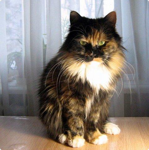 Так сложилось - в наш дом попали в разное время кошки одной масти - трёхцветные. фото 5