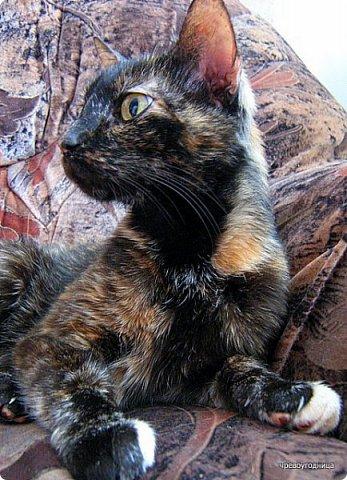 Так сложилось - в наш дом попали в разное время кошки одной масти - трёхцветные. фото 8