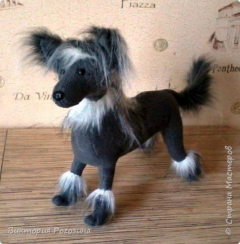 Японская хохлатая собачка фото 4