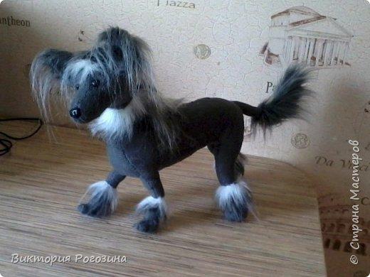 Японская хохлатая собачка фото 7